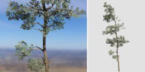 Eastern White Pine: Desktop Forest