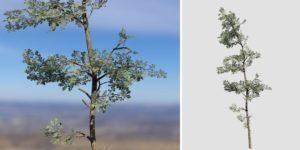 Eastern White Pine: Hero Forest
