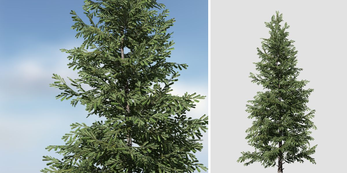 Norway Spruce: Desktop Field