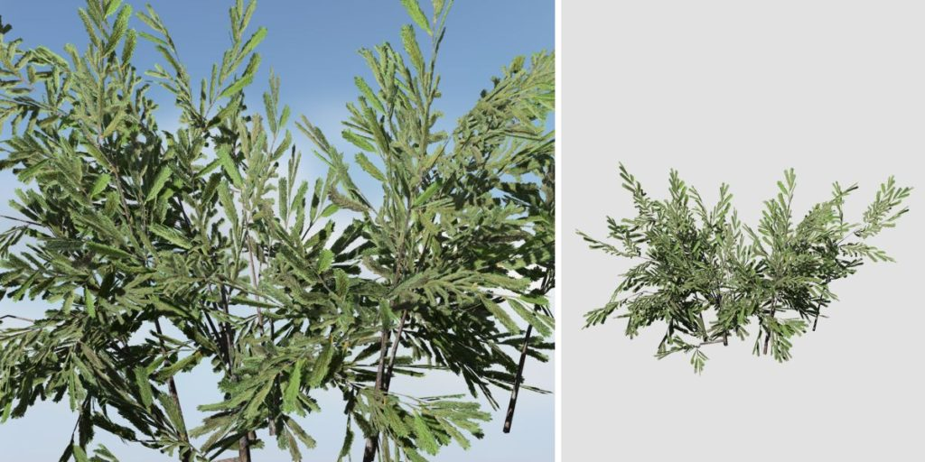 Norway Spruce Seedling