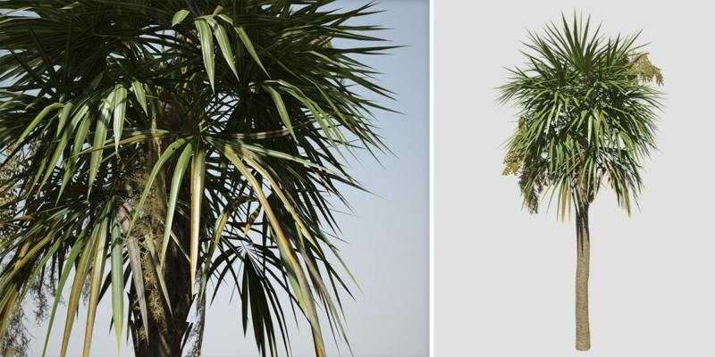 Sabal Palmetto: Hero