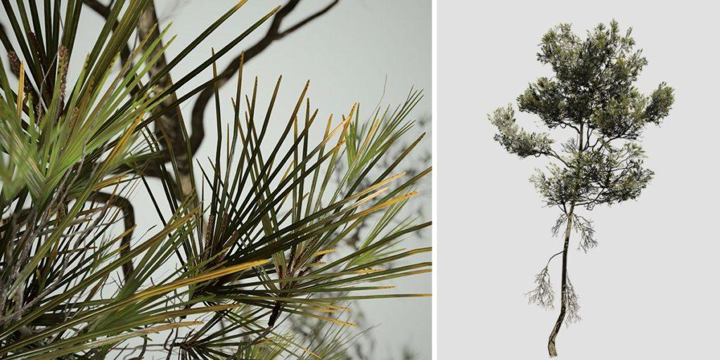 Aleppo Pine: Desktop Forest (Sparse Base)