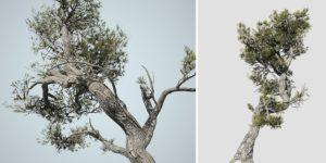 Aleppo Pine: Desktop Coastal