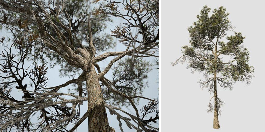 Aleppo Pine: Desktop Field