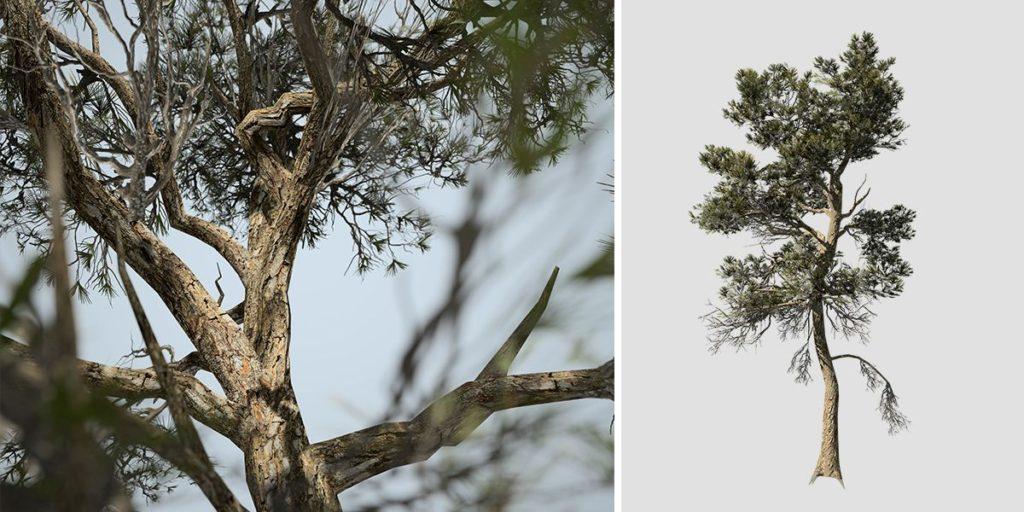 Aleppo Pine: Desktop Forest (Full)