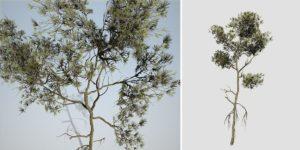 Aleppo Pine Sapling