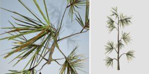 Aleppo Pine Seedling
