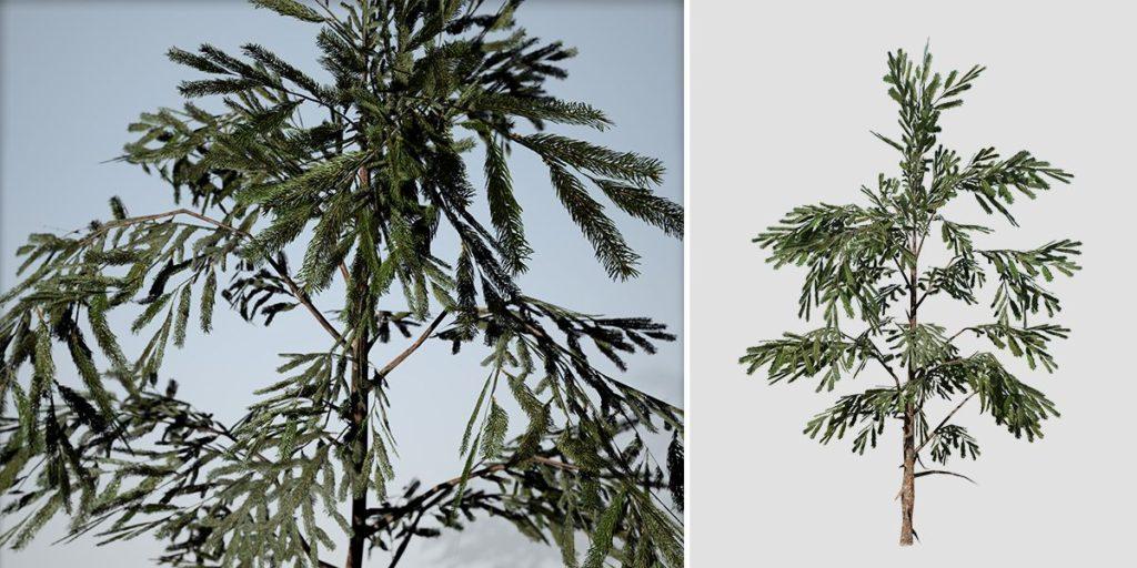 White Spruce: Sapling