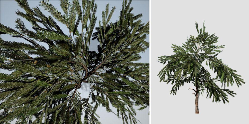 White Spruce: Sapling (Small)