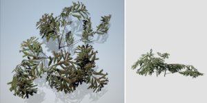 White Spruce Seedlings