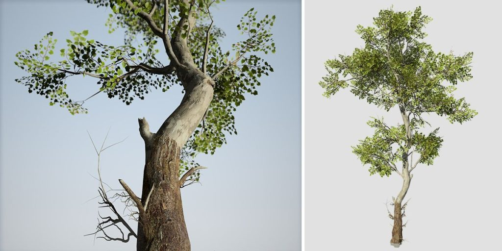 American Sycamore: Desktop Forest