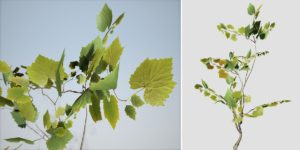 American Sycamore Seedling