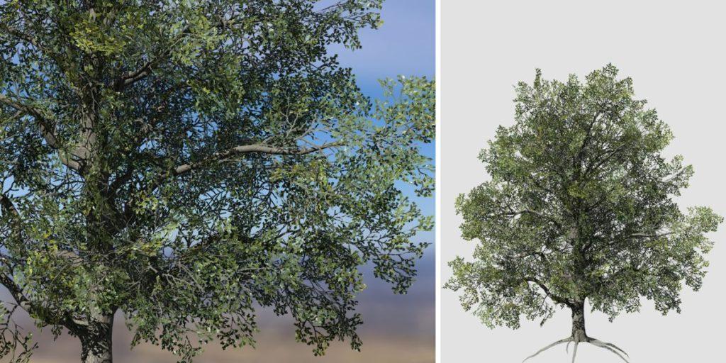 White Oak: Desktop Field (Thin Trunk)