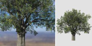 White Oak: Desktop Field (Thick Trunk)