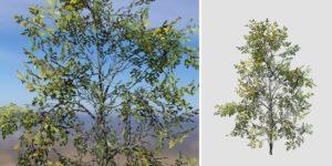 White Oak: Sapling