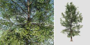 Willow Oak: Desktop Field