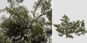 Rocky Mountain Juniper: Forest (Crag Growth)