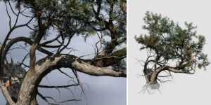 Rocky Mountain Juniper: Forest (Broken Base)