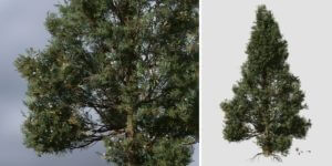 Rocky Mountain Juniper: Residential 2 (Pruned)
