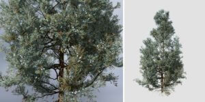 Rocky Mountain Juniper: Residential 3 (Blue Variant)