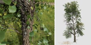 European Linden: Field (Single Trunk)
