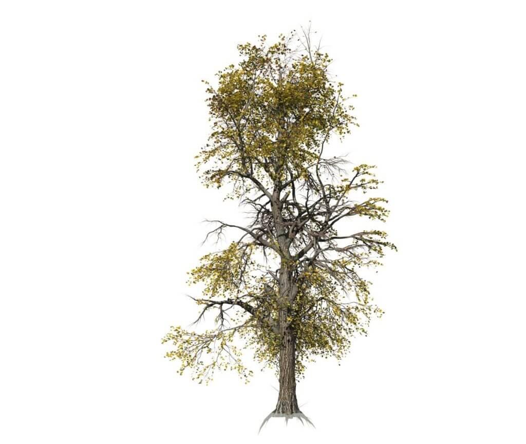 European Linden: Forest