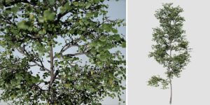 European Linden Sapling: (Narrow)