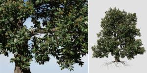 Southern Magnolia: Field (Irregular)