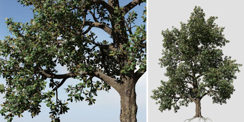 Southern Magnolia: Forest (Irregular)