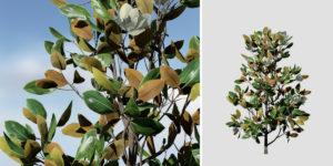Southern Magnolia Sapling