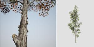 Sugar Maple: Desktop Forest (Narrow)
