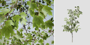 Sugar Maple: Sapling (Narrow)