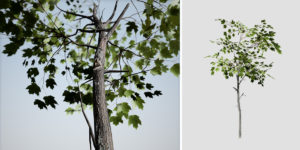 Sugar Maple: Sapling (Round)