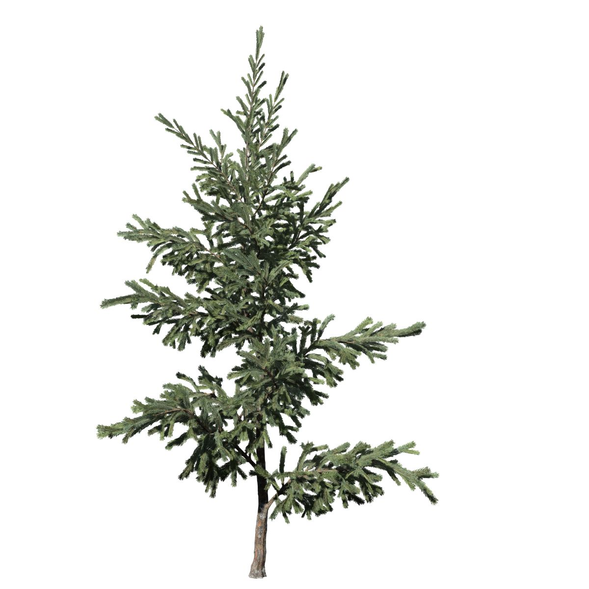 Norway Spruce Sapling – SpeedTree