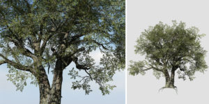 Holm Oak: Desktop Field