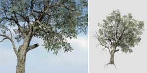 Holm Oak: Desktop Forest