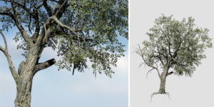 Holm Oak: Hero Forest