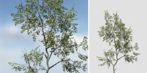Holm Oak: Sapling