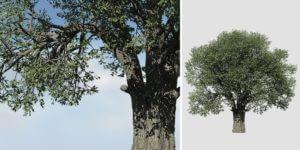 White Oak: Forest