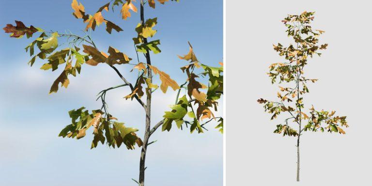 White Oak Seedling