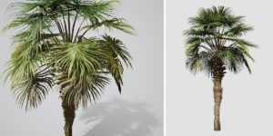 Chinese Fan Palm: Field