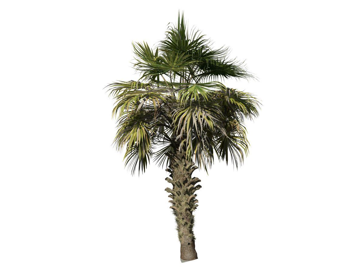 Chinese Fan Palm: Weathered