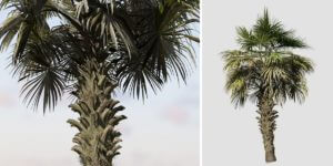 Chinese Fan Palm: Weathered