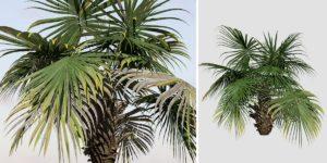 Chinese Fan Palm (Dwarf)