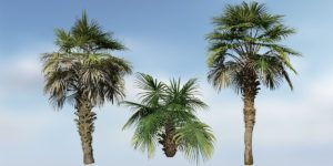 Chinese Fan Palm Species Pack