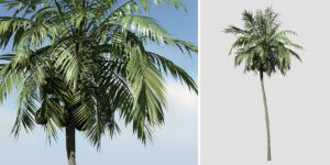 Coconut Palm: Hero (Upright)