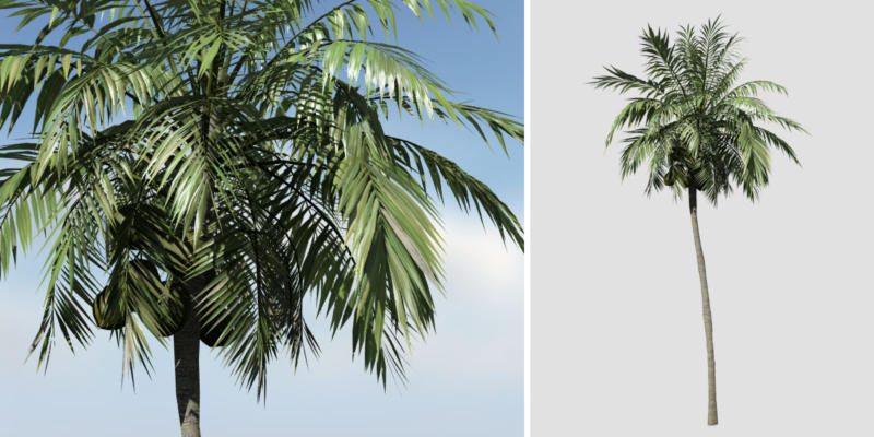 Coconut Palm: Hero (Upright)