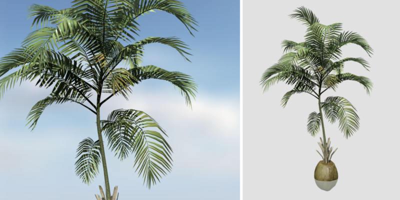 Coconut Palm: Desktop (Sapling)