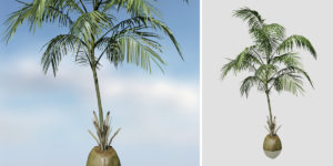 Coconut Palm: Hero (Sapling)