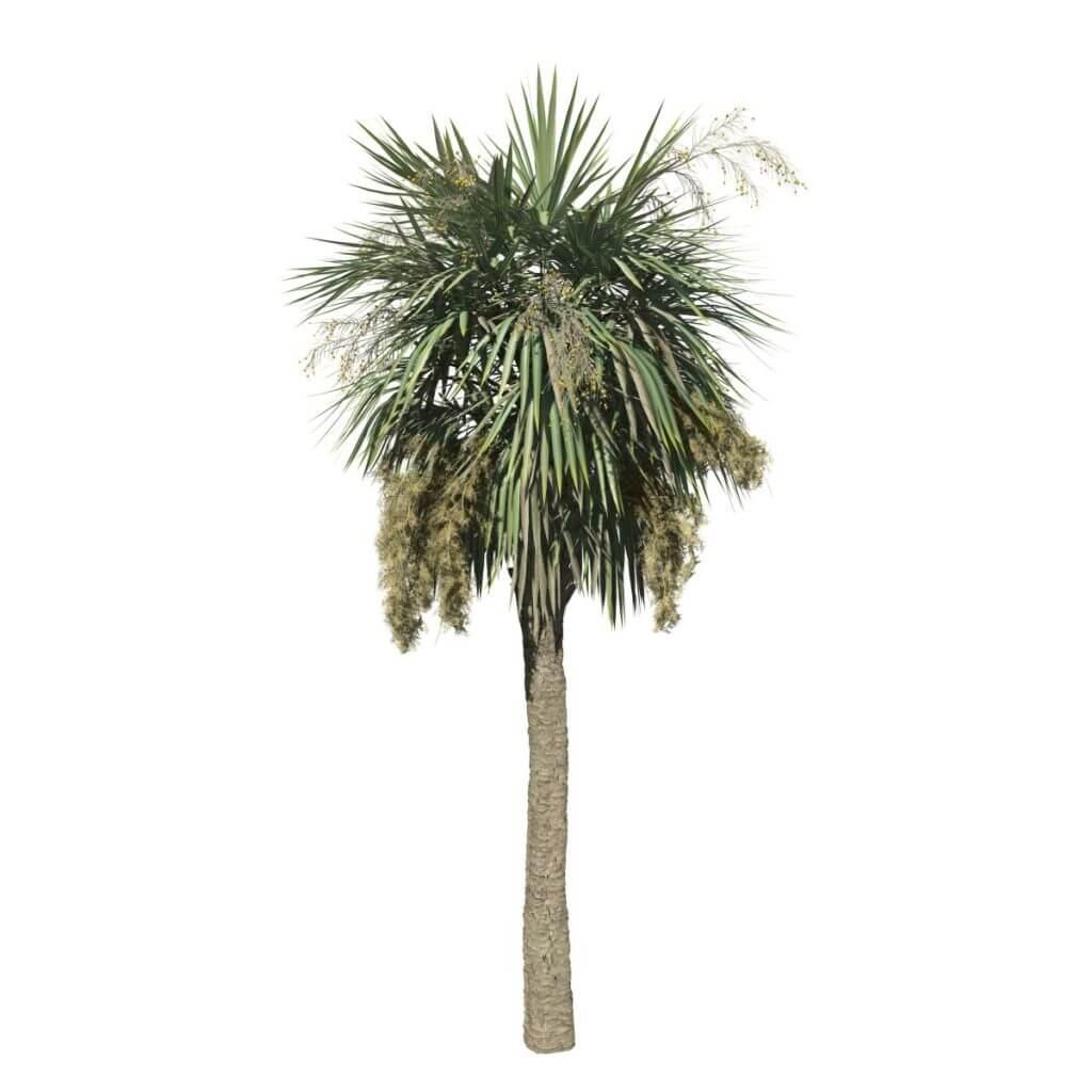 Sabal Palmetto: Field 1